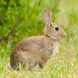 difference between a hare and a rabbit