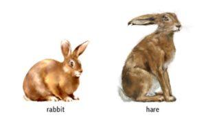 hare versus rabbit