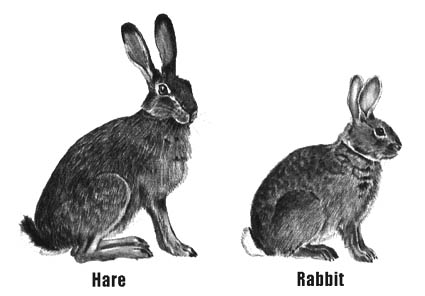 hare vs rabbit