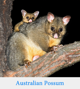 Opossum vs. Possum: What's the Difference? - Writing Explained
